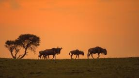 夕阳——角马