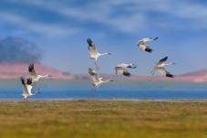 白鹤起飞(祝贺荣获首页鸟类精华)