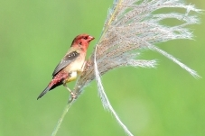 红梅花雀的期盼
