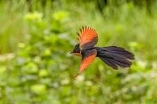 红翅凤头鹃