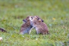 鼠兔深情之吻