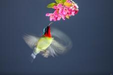 红花与悬停小鸟