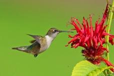 悬停花丛採蜜忙,蜂鸟。