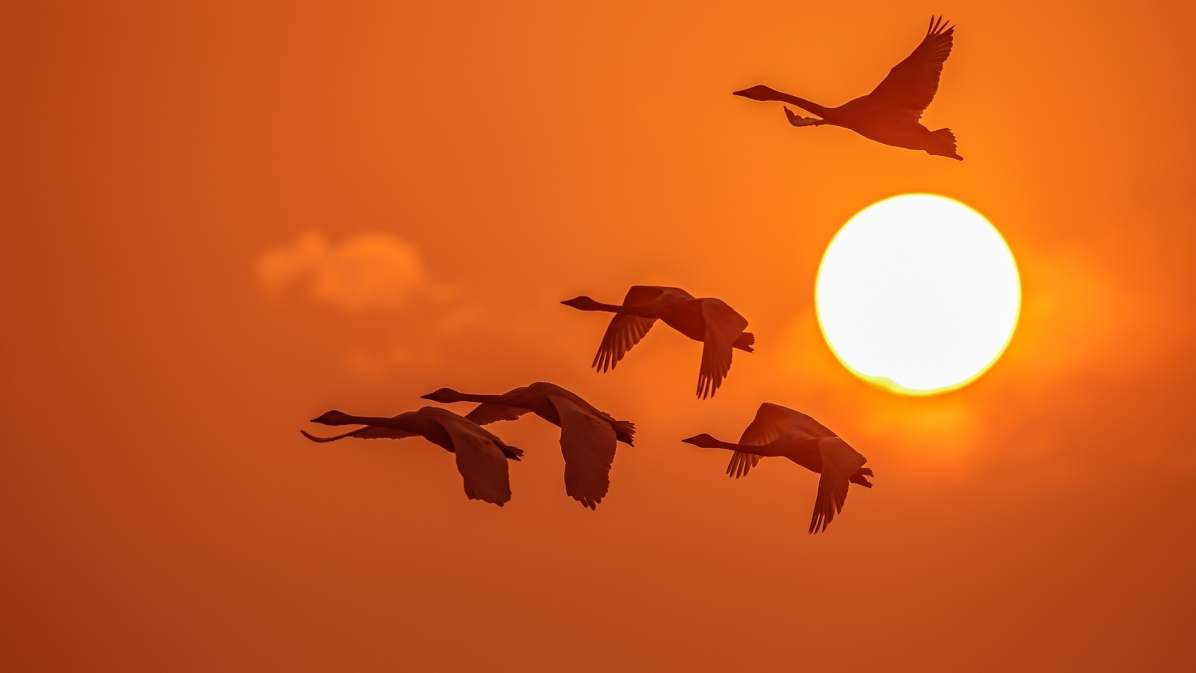 太阳旁照天鹅飞
