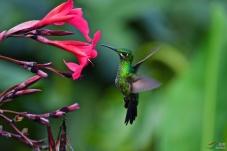 绿顶辉蜂鸟
