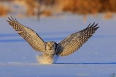 《冷极猛鸮》