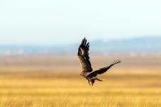 辽阔的大草原,雄鹰展翅飞翔。(祝贺佳作荣