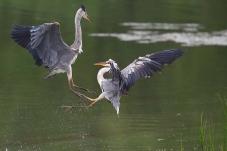 沙河水库拍鸟