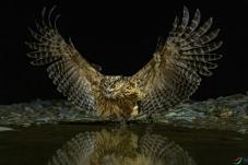 睥睨--黄腿渔鸮