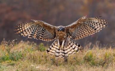 展翅奋击···鹰雕