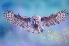 猛禽烏林鸮