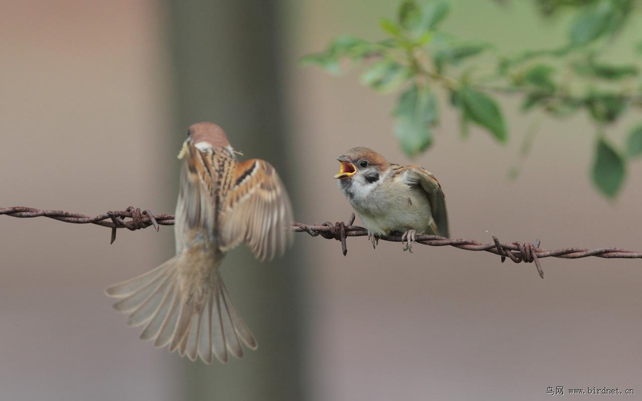 小麻雀的故事明白了什么 麻雀让我明白了什么道理