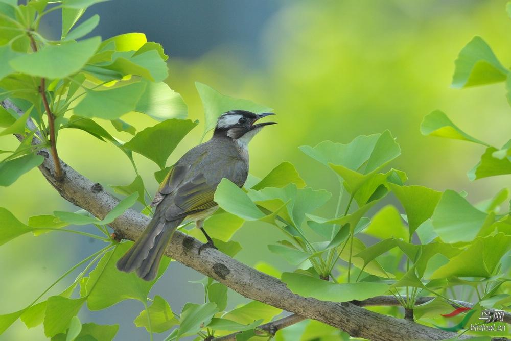 51期间小区拍的几只小鸟5.jpg