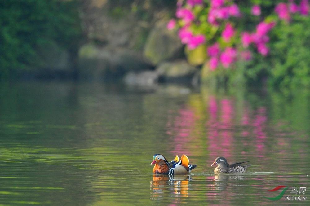 春色中的鸳鸯2.jpg