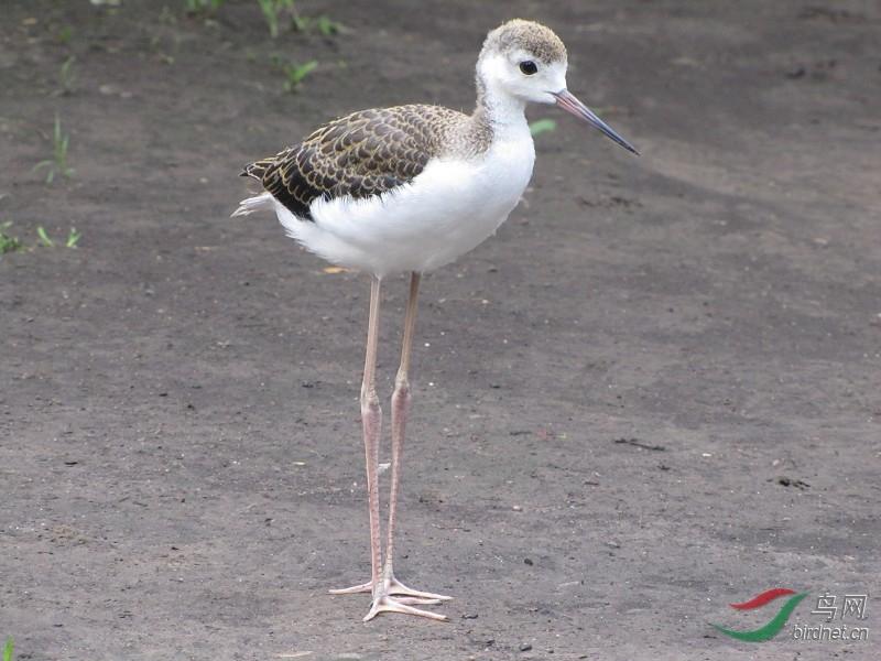 长腿鹬--美女