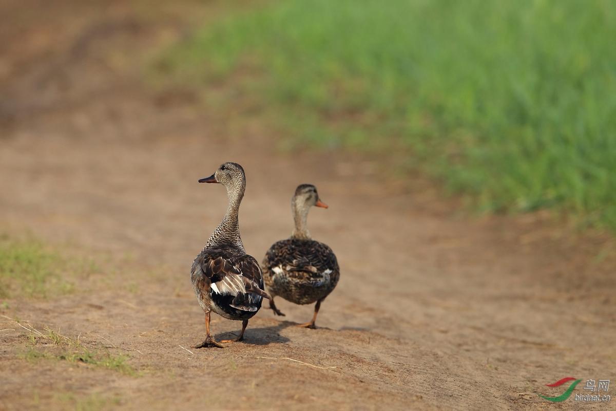 草原路上的鸭子(东乌旗)