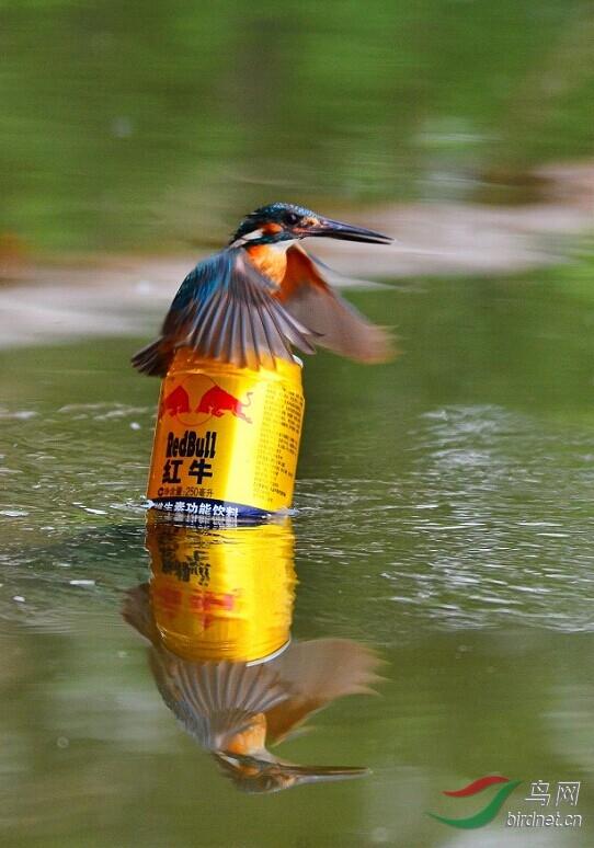 以红牛饮料为落点抓拍翠鸟停落瞬间