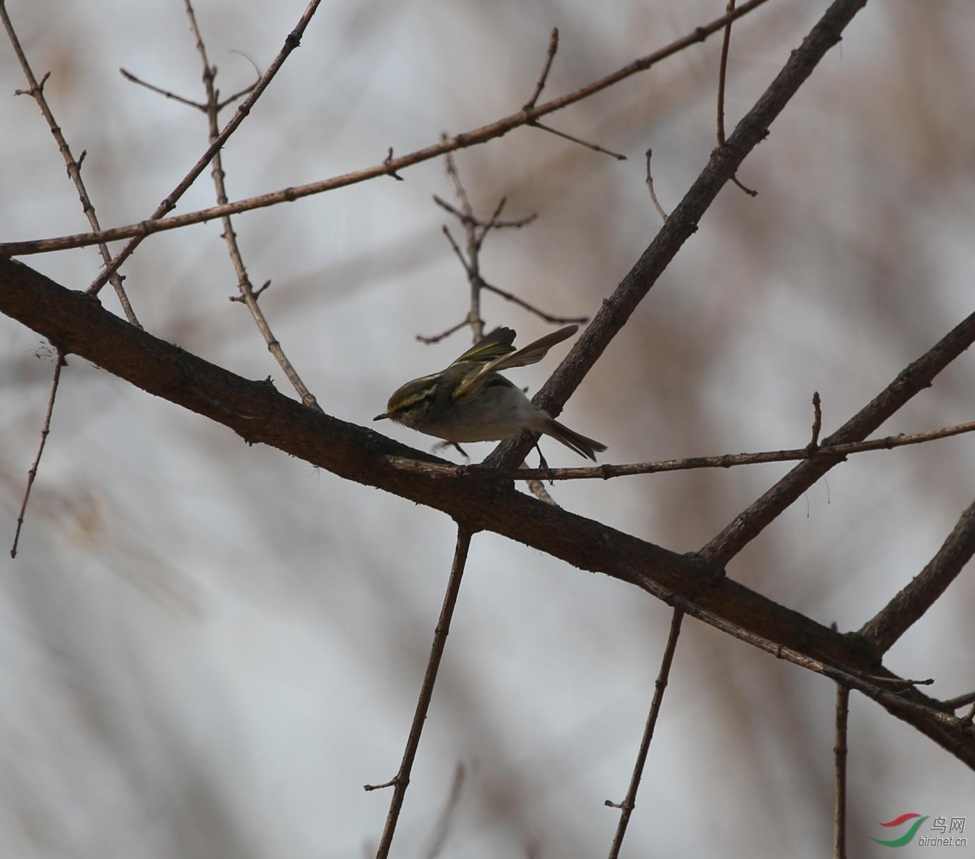 柳莺什么成语_柳莺鸟图片