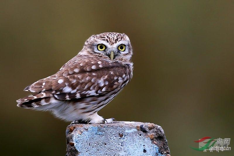 可爱的小鸮.jpg
