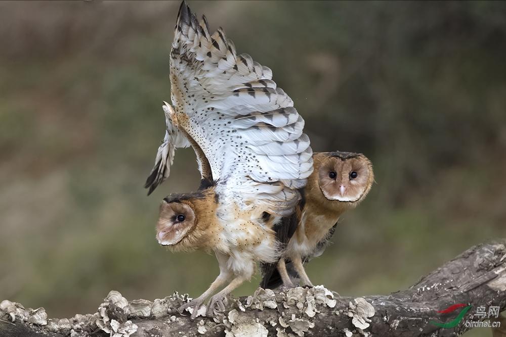 《猴面鹰》.jpg