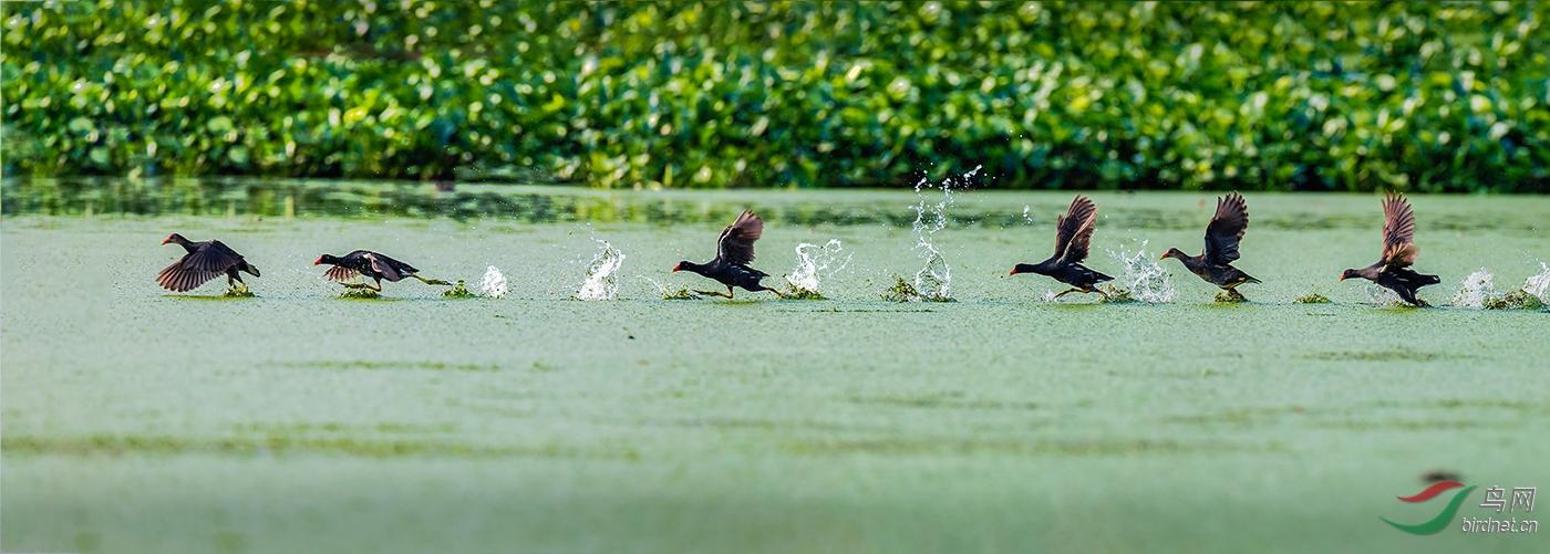 标题 来自中国的黑旋风Gallinula chloropus whirlwind--宋发兴.jpg