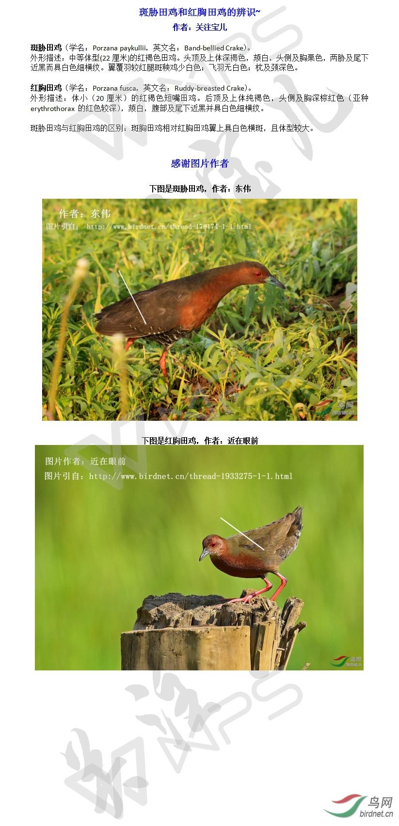 斑胁田鸡和红胸田鸡的辨识~.jpg