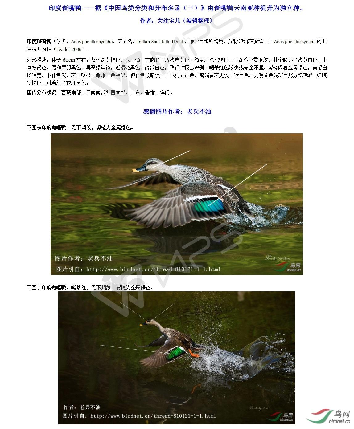印度斑嘴鸭——据《中国鸟类分类和分布名录(三)》由斑嘴鸭云南亚种提升为独立种。.jpg