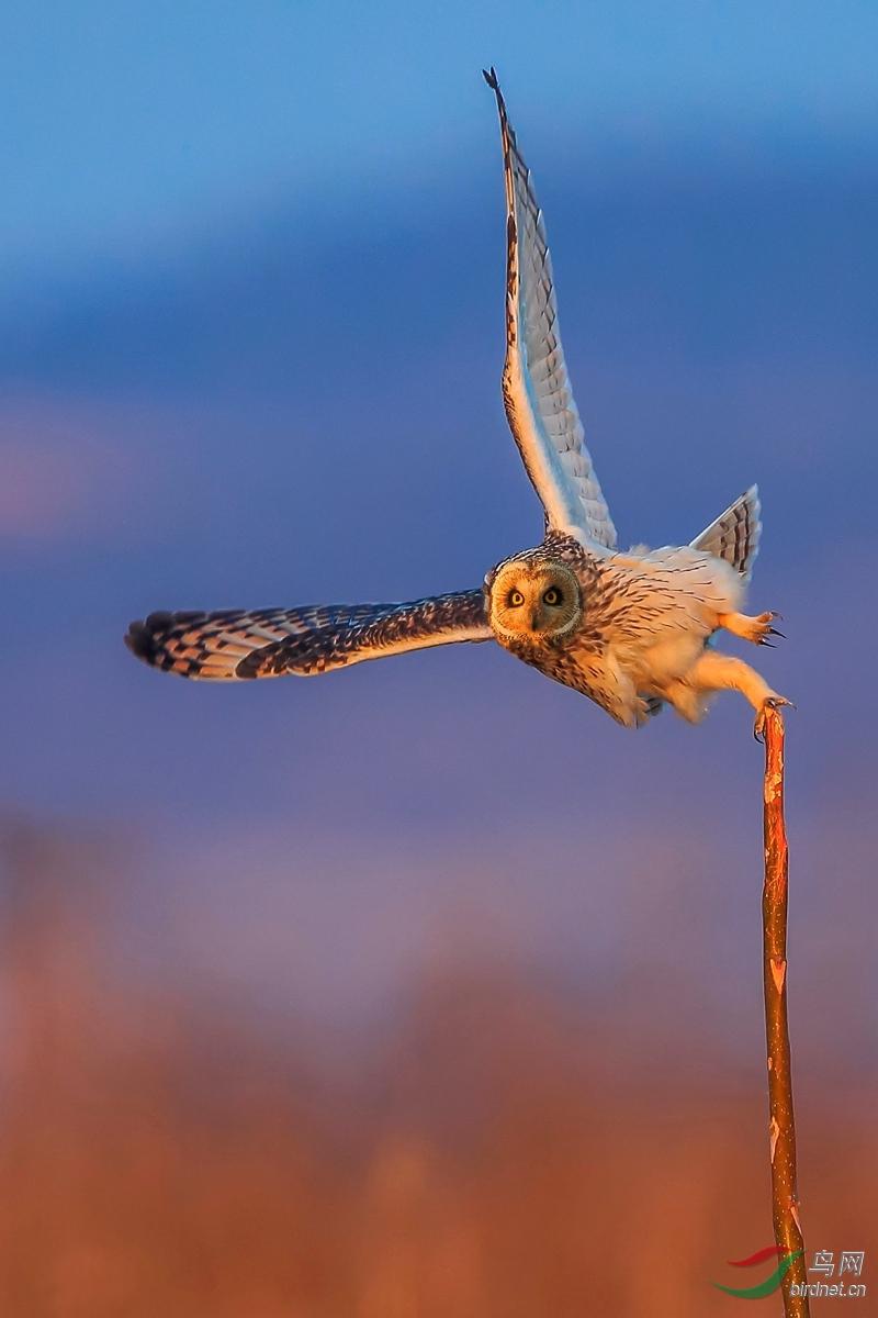 2550短耳鸮.jpg