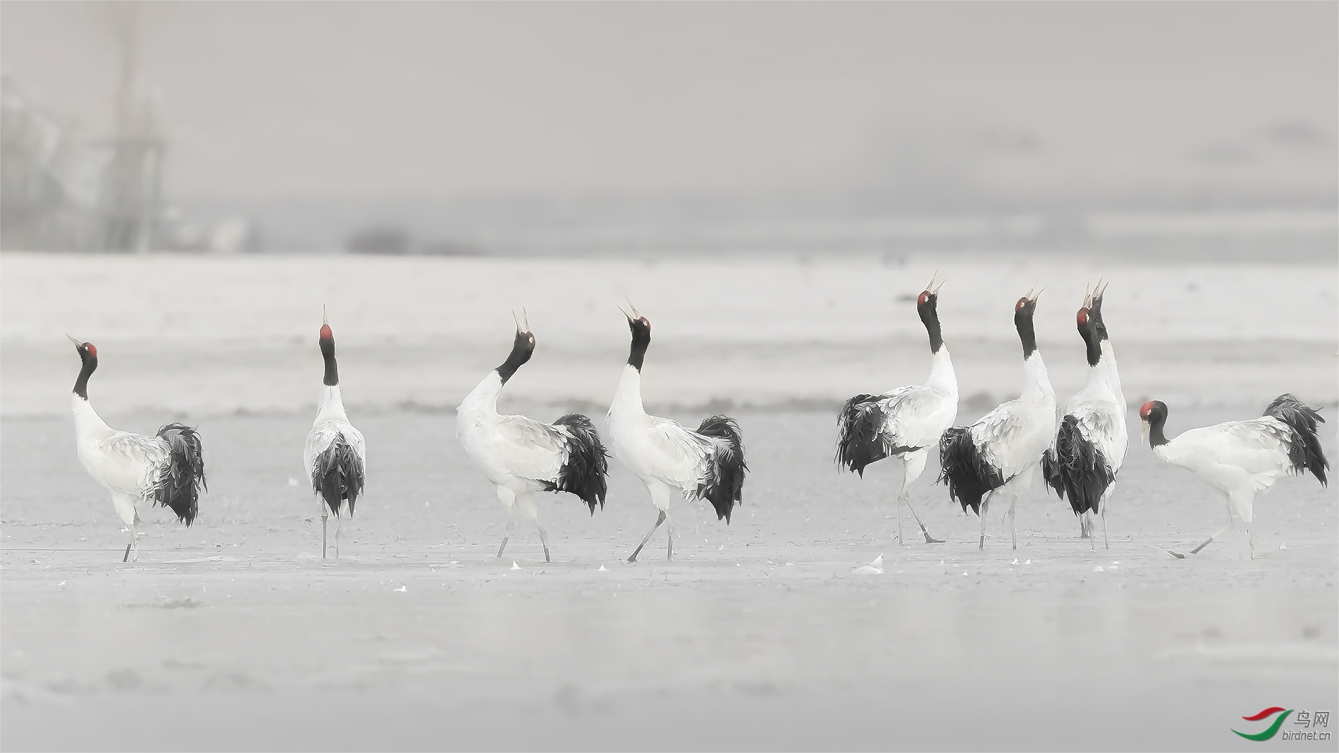 黑颈鹤.jpg