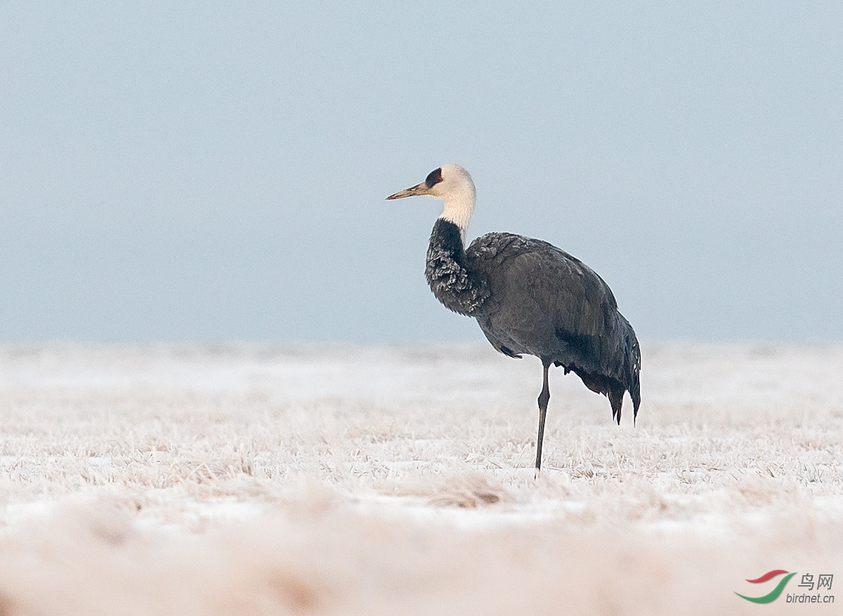 冰天雪地:白头鹤.jpg