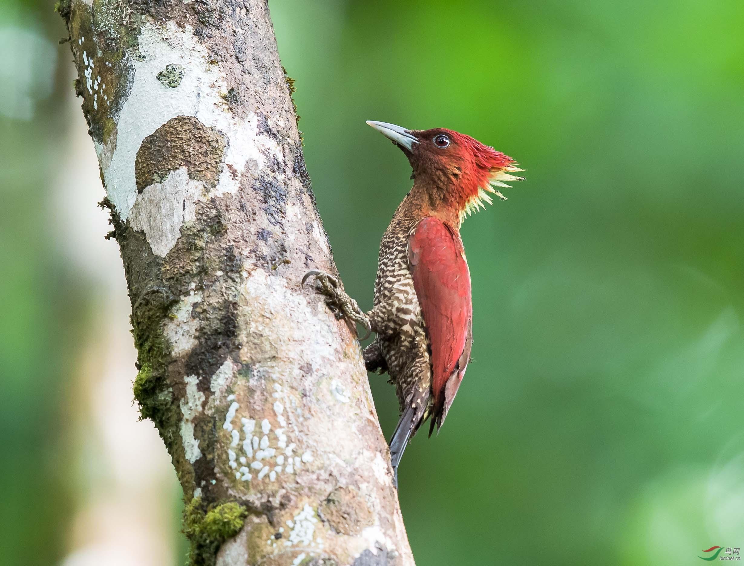 守候:镶红啄木鸟.jpg