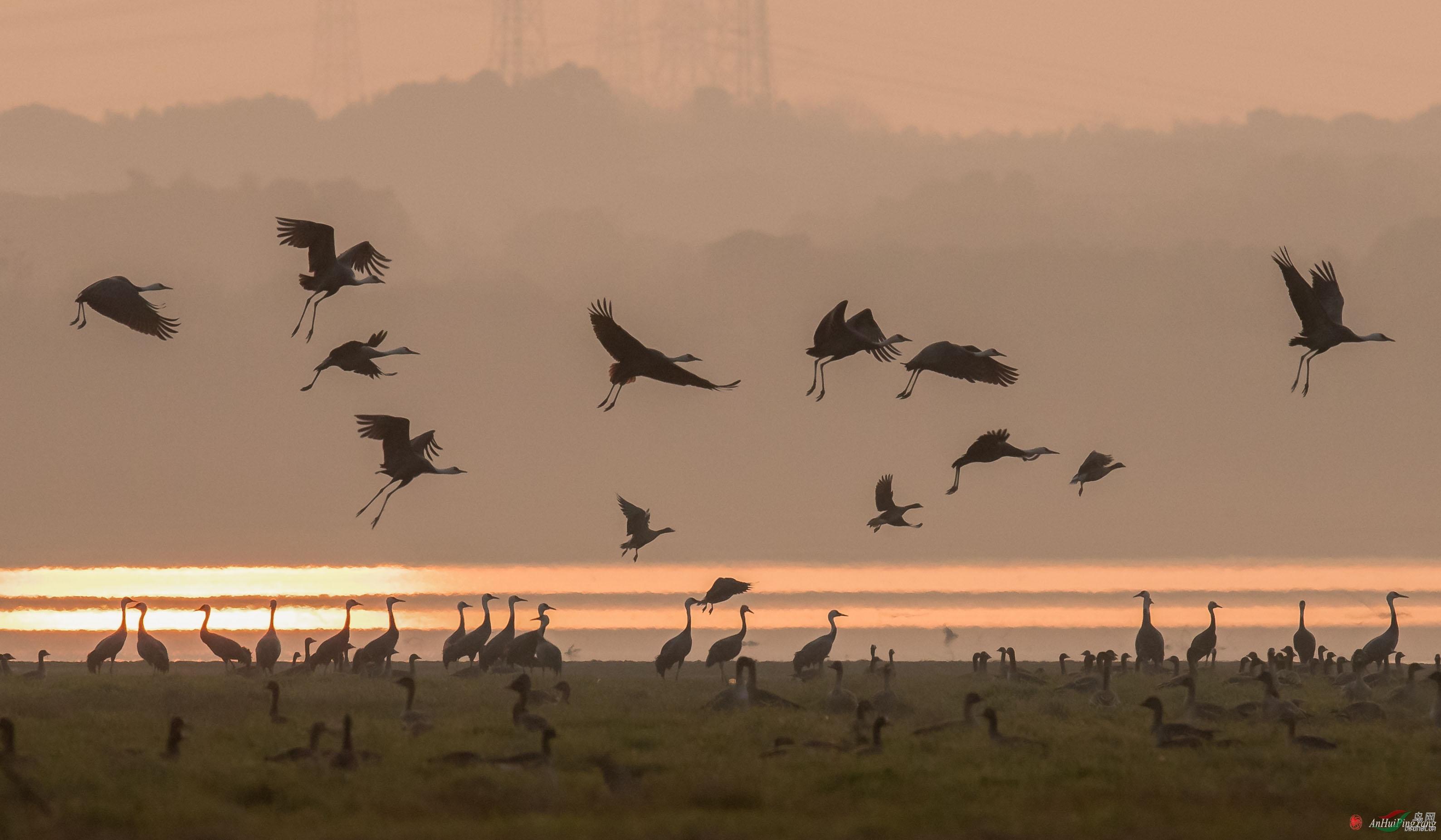 夕阳下的湿地:白头鹤.jpg