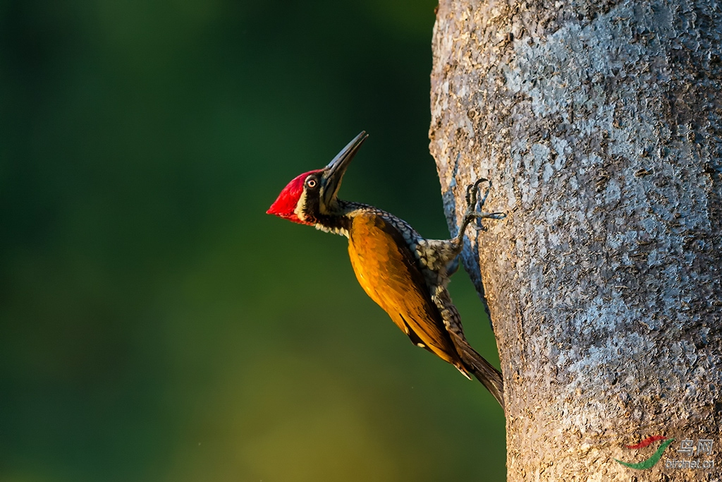 大金背啄木鸟.jpg