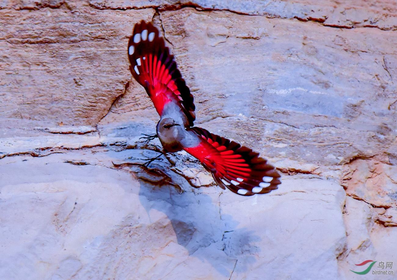 红翅旋壁雀.jpg