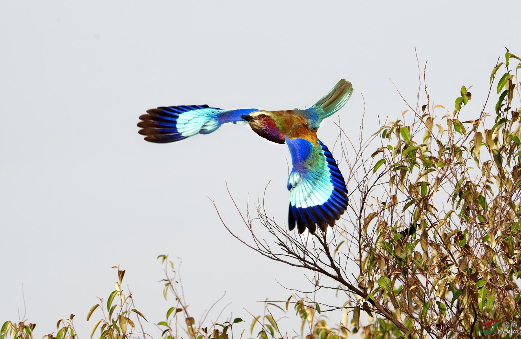 国鸟英姿.jpg