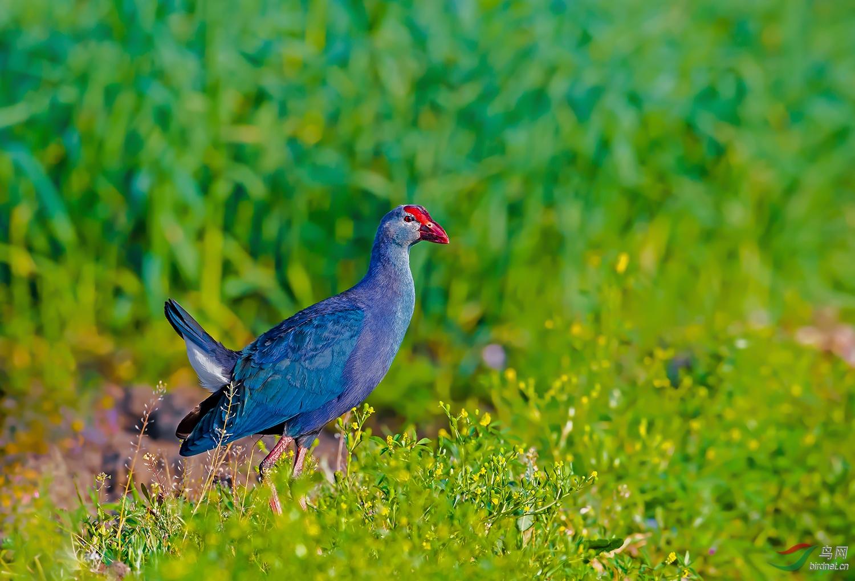 紫水鸡.jpg