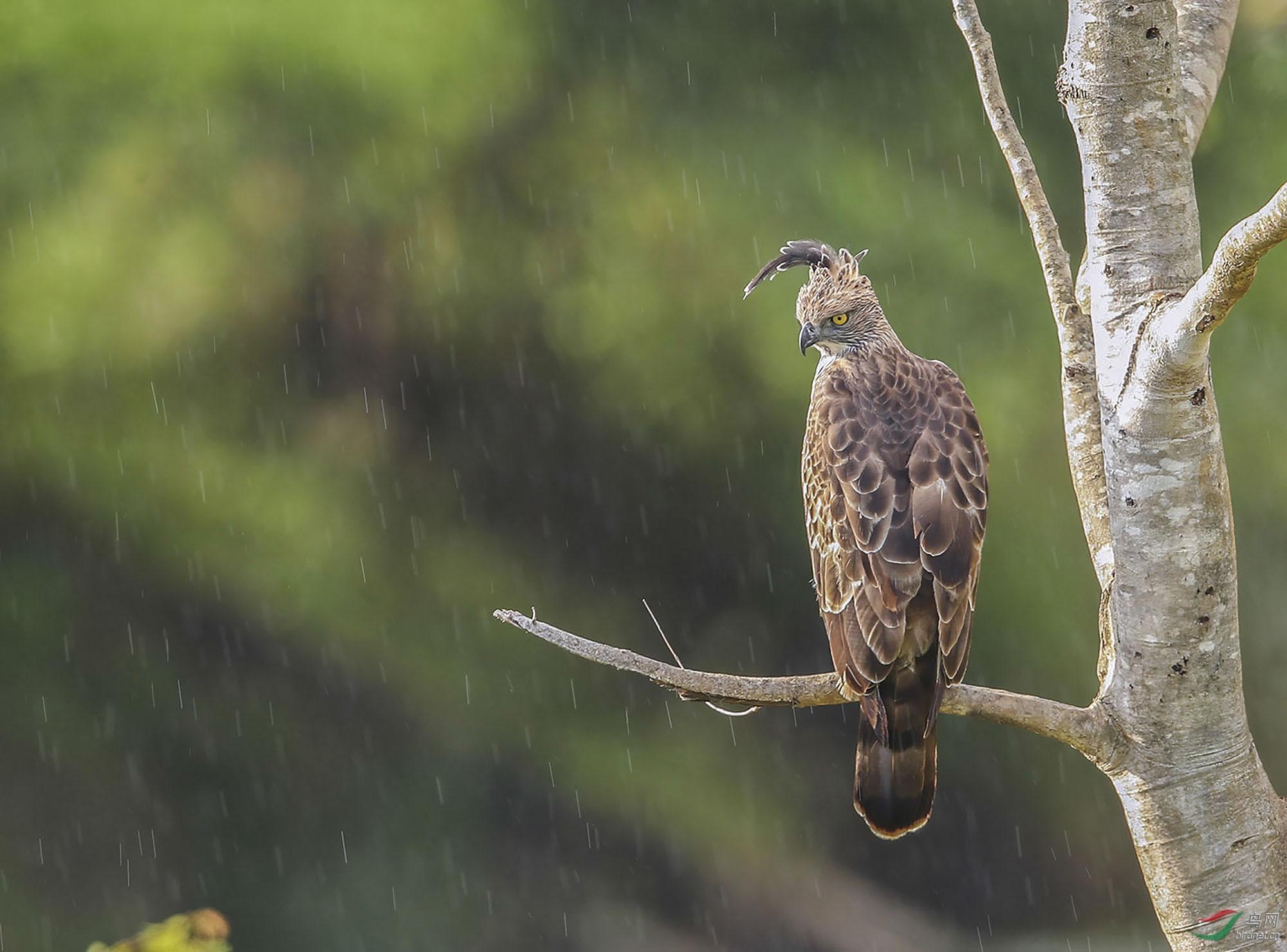 在雨中(凤头鹰雕)【摄于斯里兰卡】.jpg