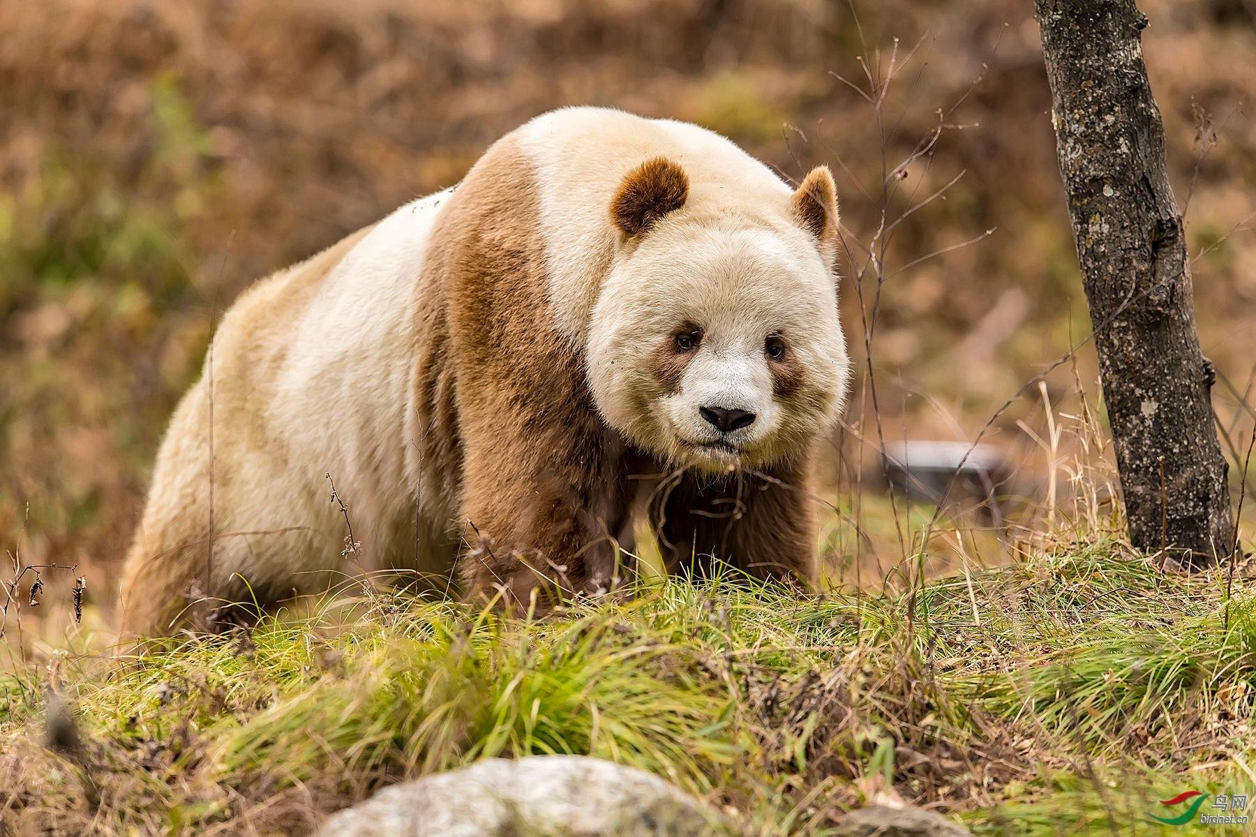 最后的一只棕色熊猫.jpg