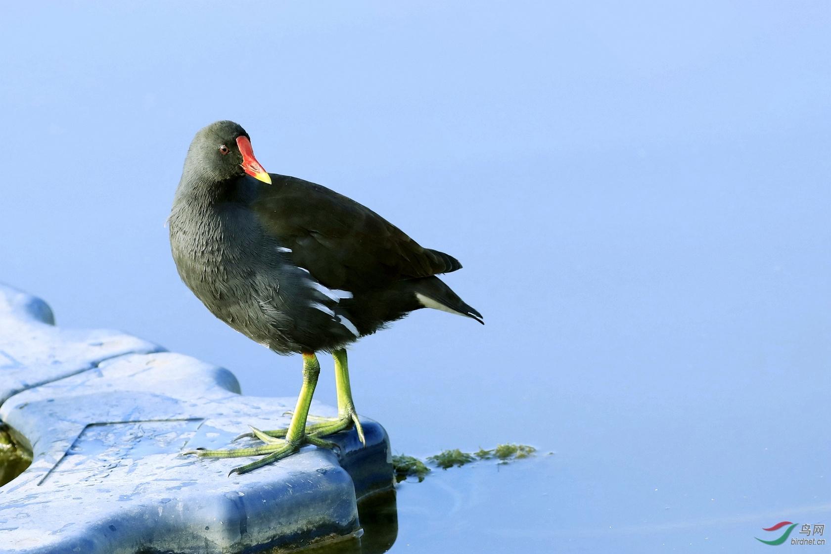 黑水鸡(成鸟)