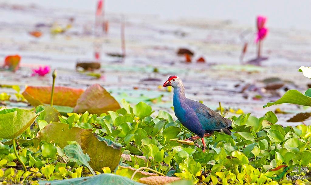 C30V0009.--紫水鸡.jpg
