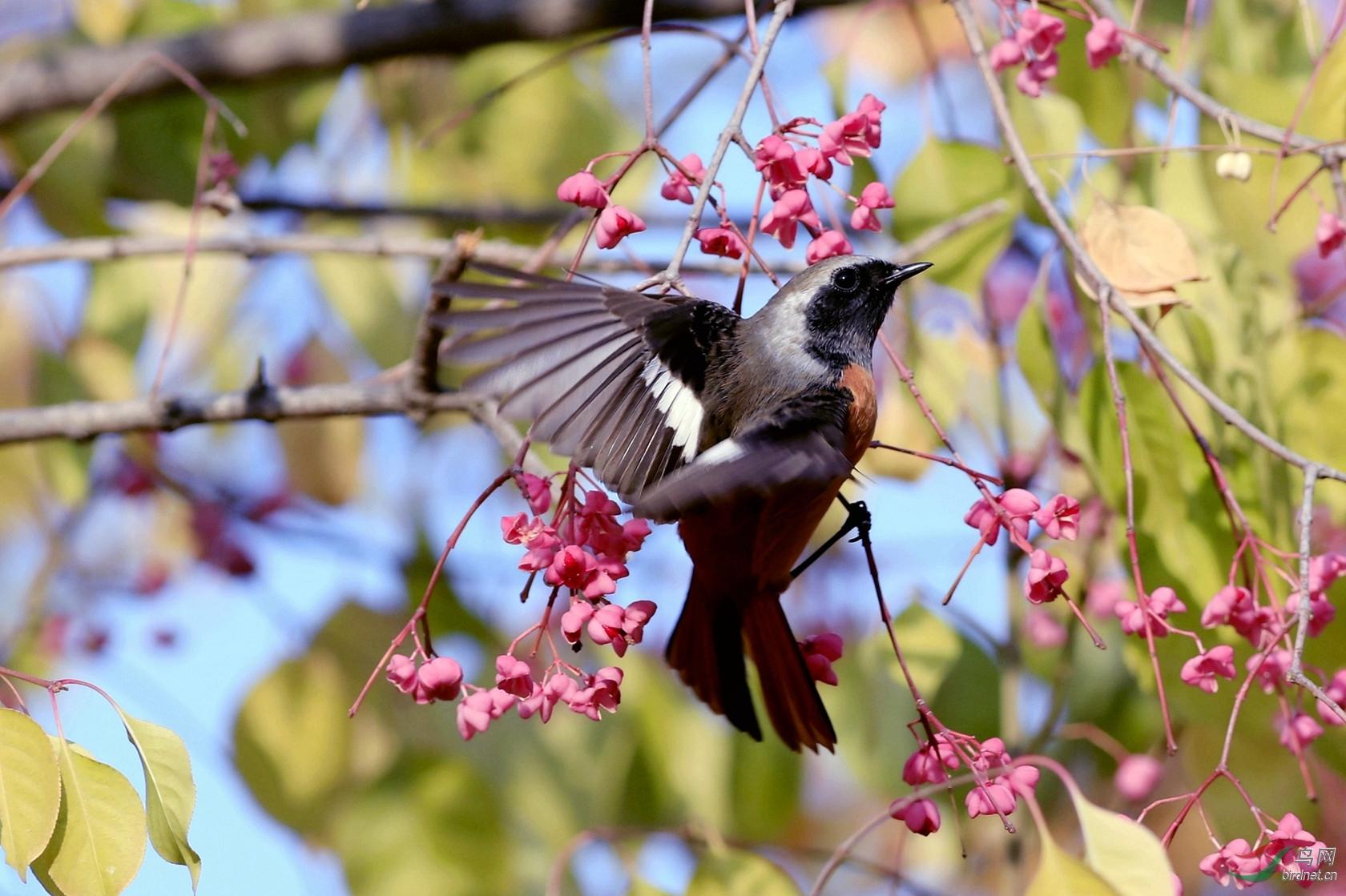 北红尾鸲(雄鸟)2
