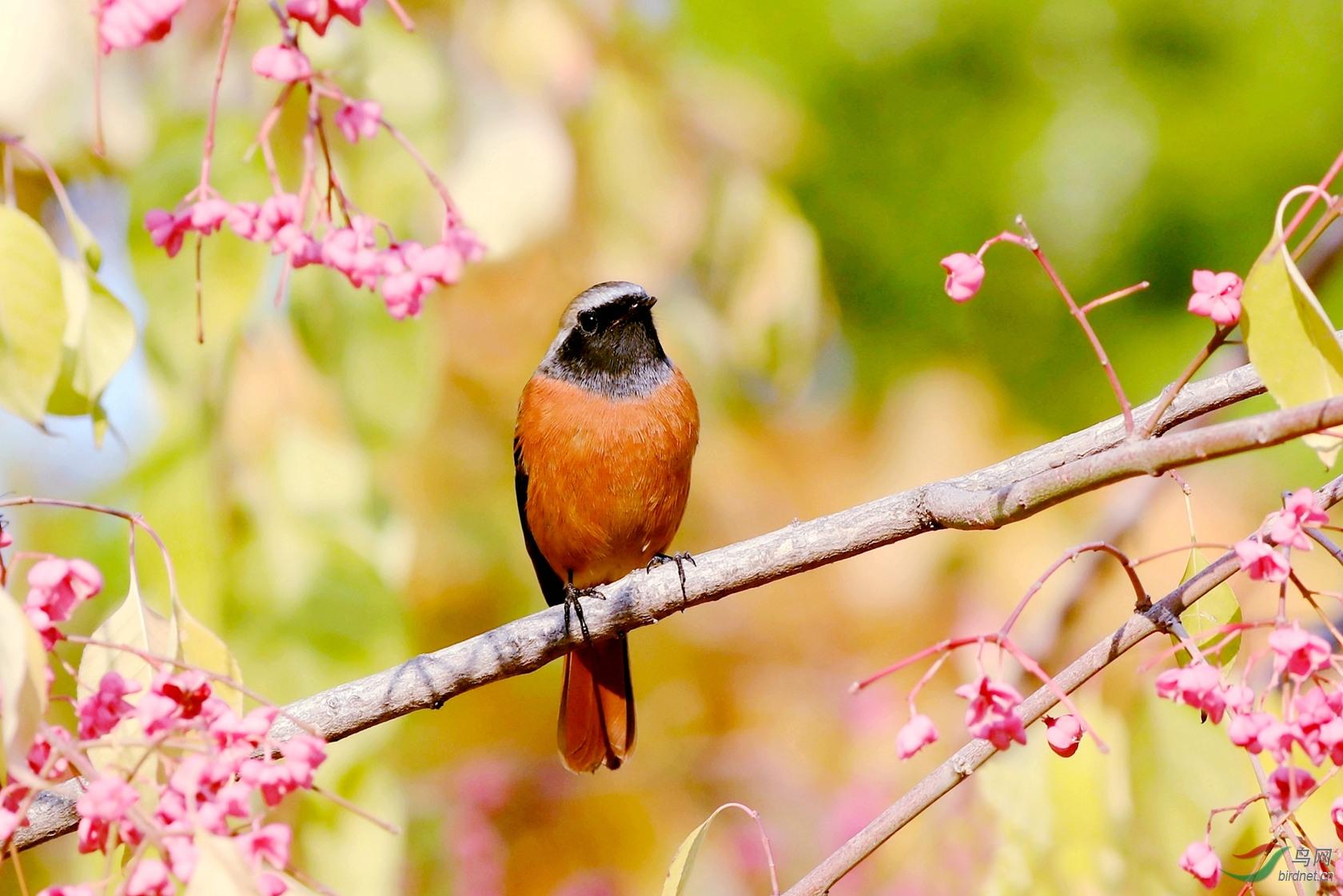 北红尾鸲(雄鸟)1