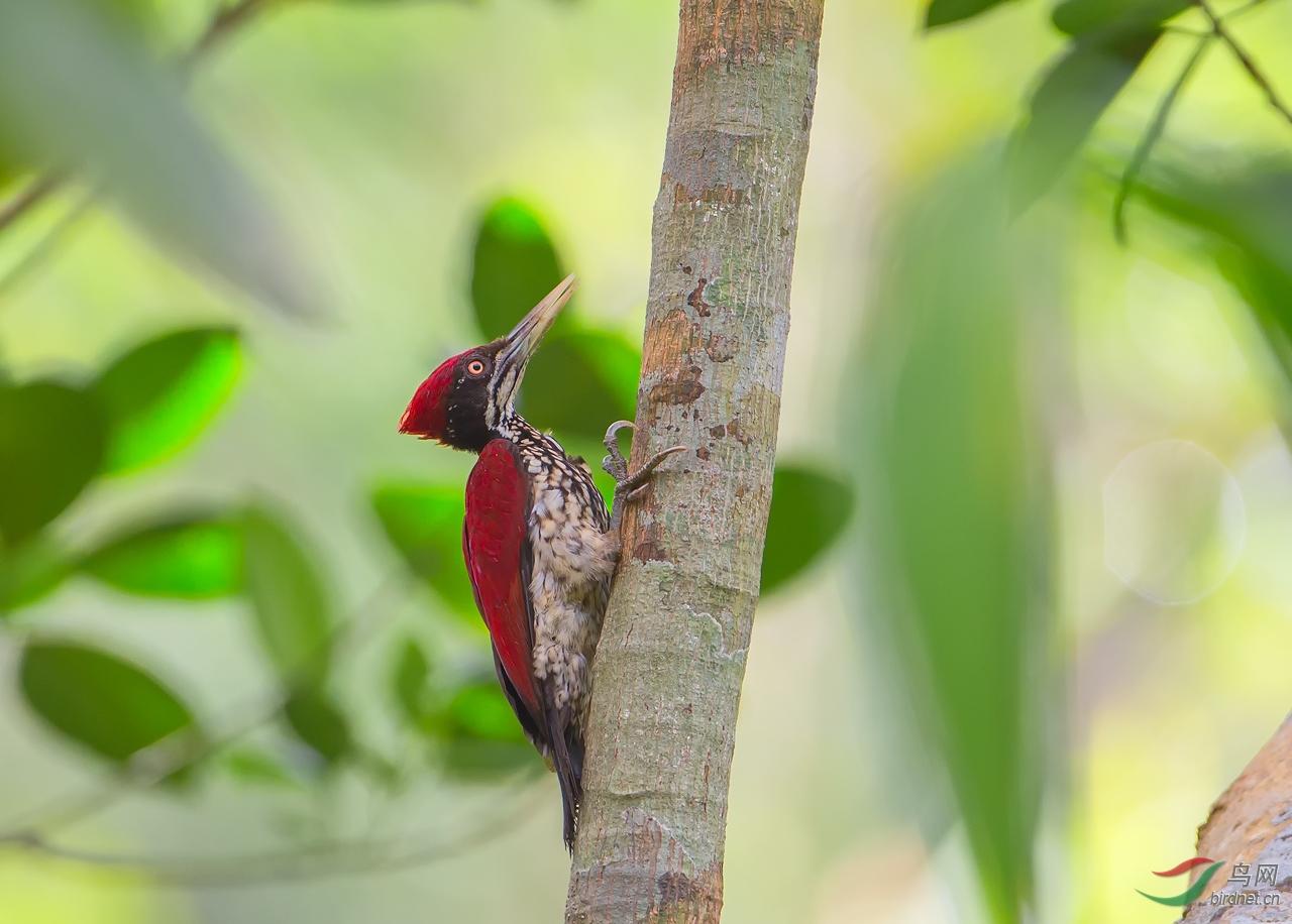 _30V0104.---火红背啄木鸟.jpg