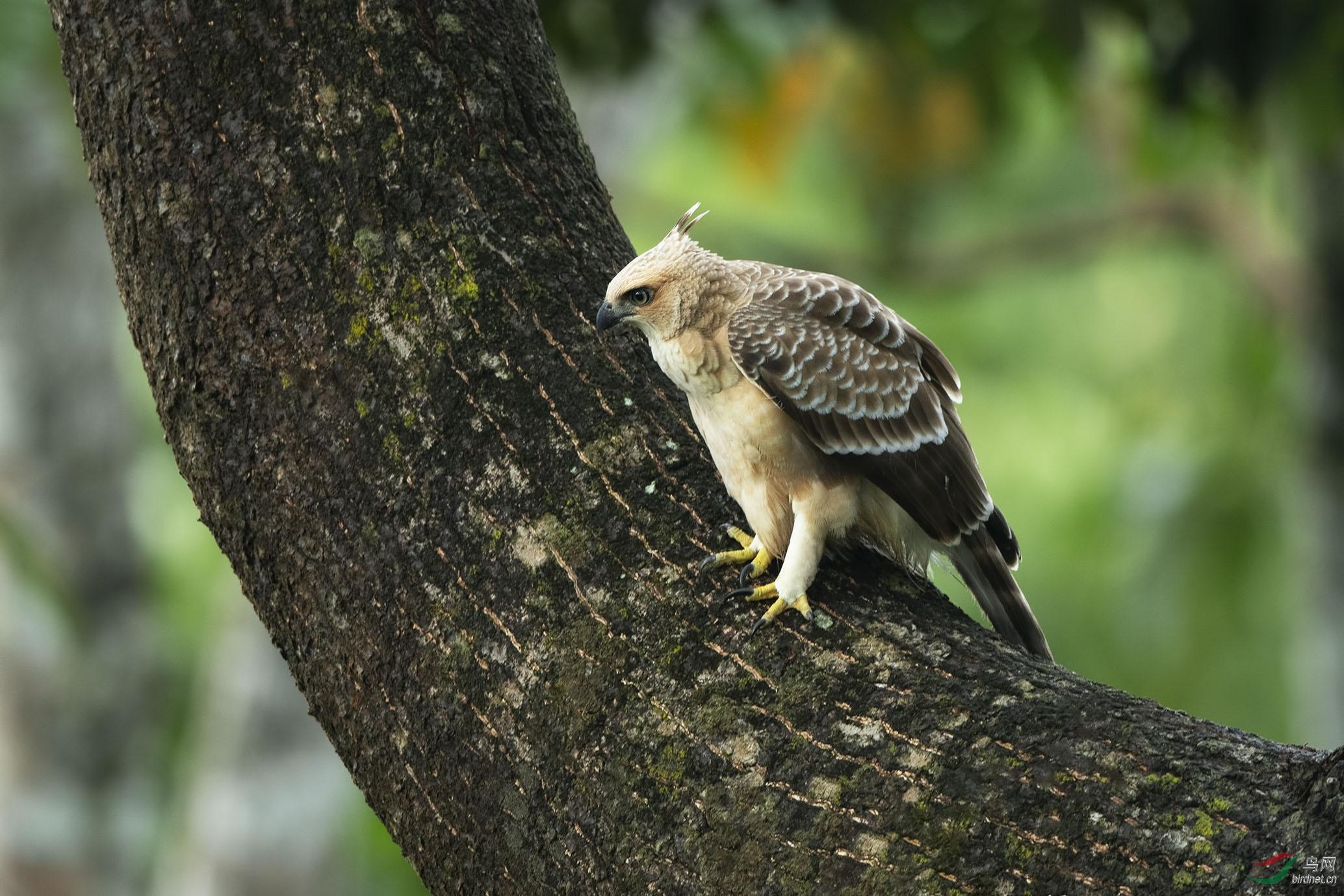 Sabah birds jpg_011.jpg