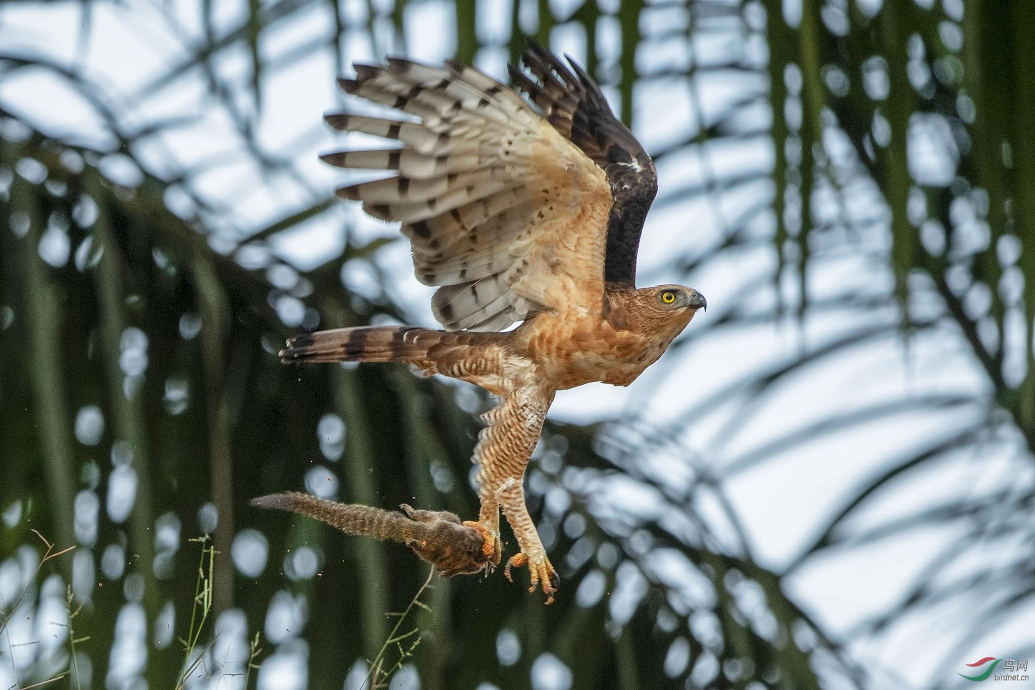Sabah birds jpg_019.jpg