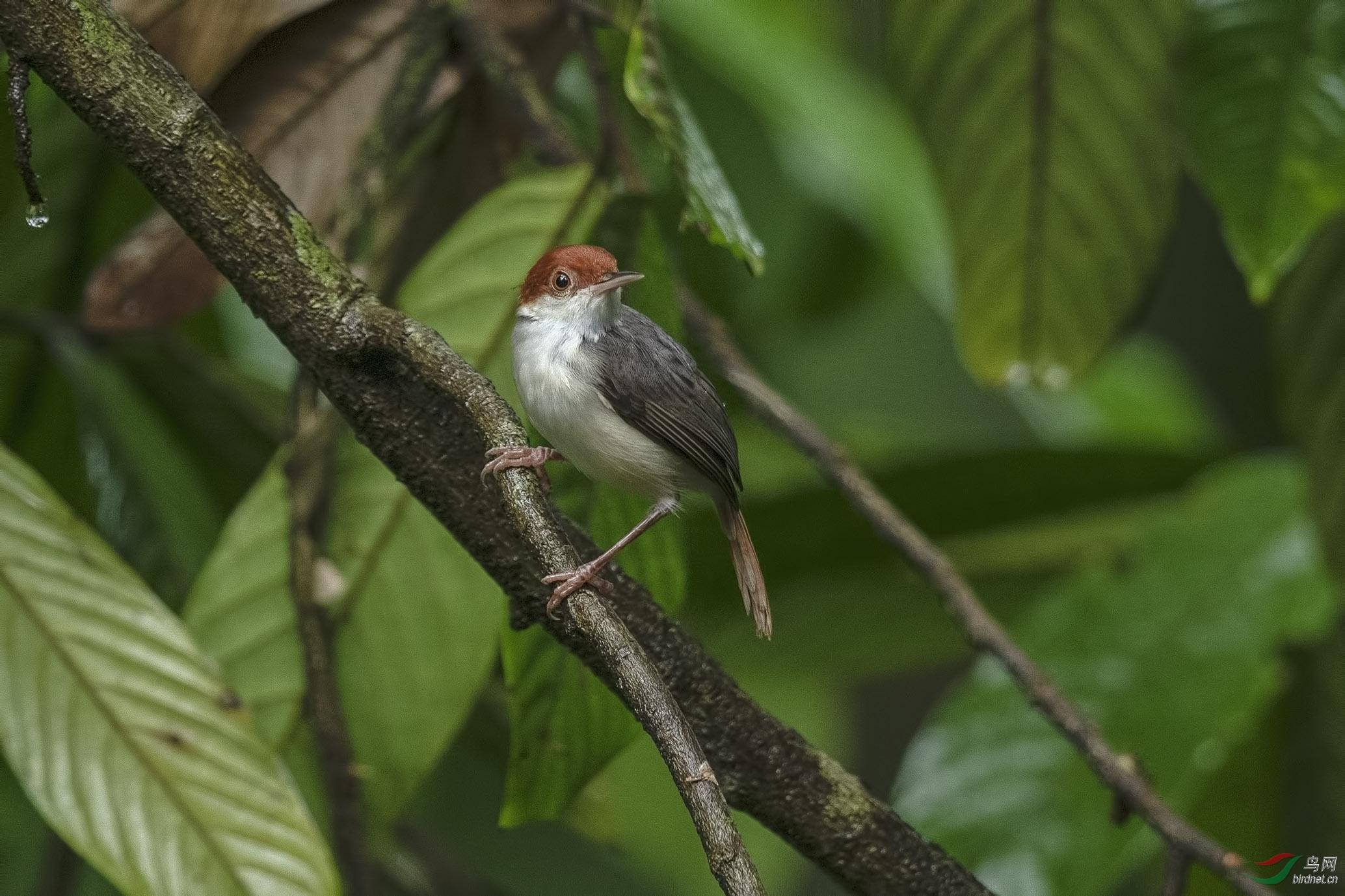 褐头缝叶莺