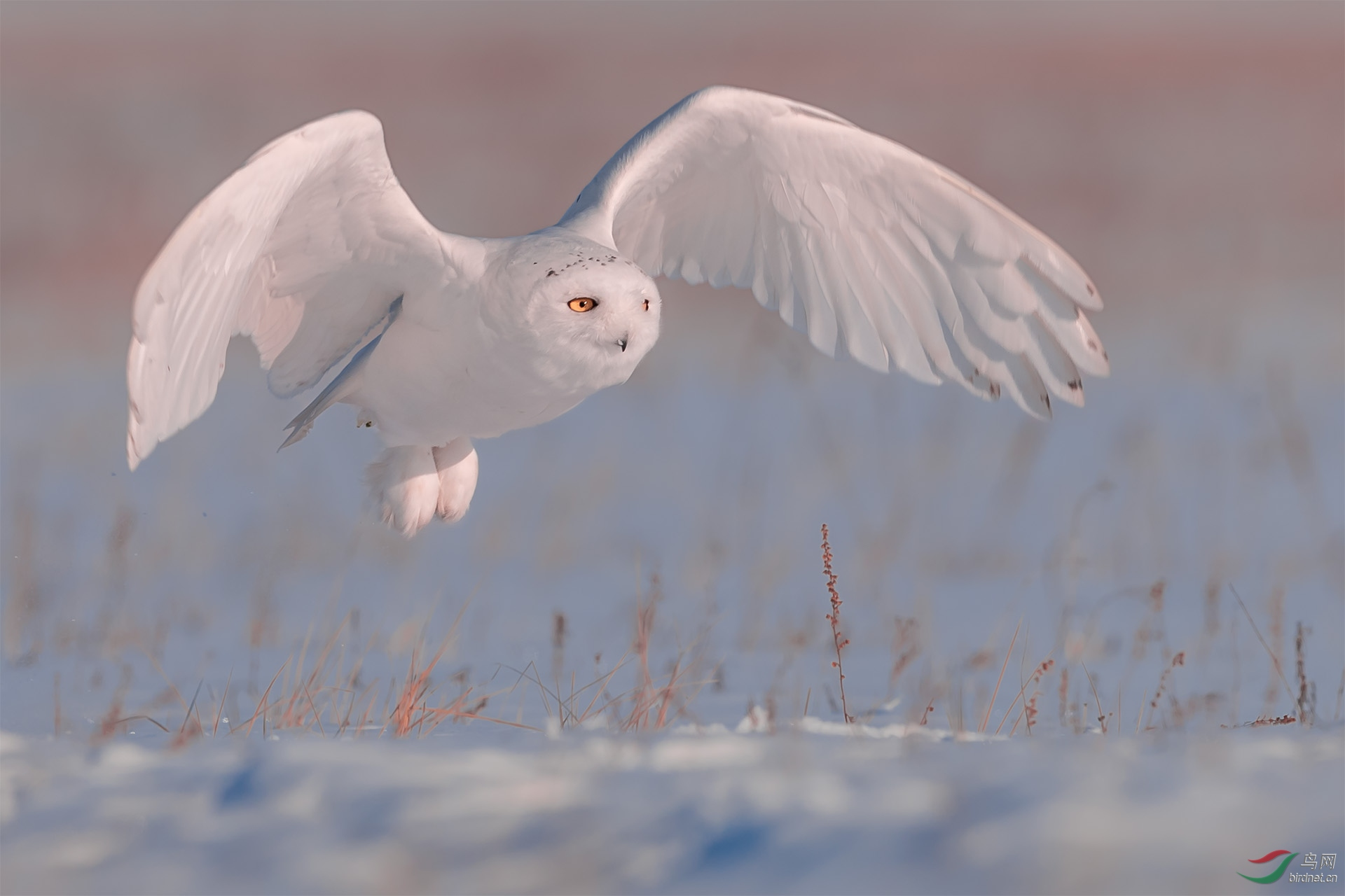海拉尔7571雪鸮.jpg