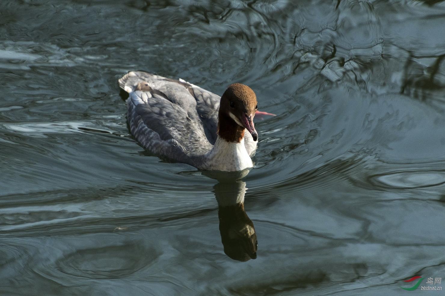 190101北海公园·普通秋沙鸭015_调整大小.jpg