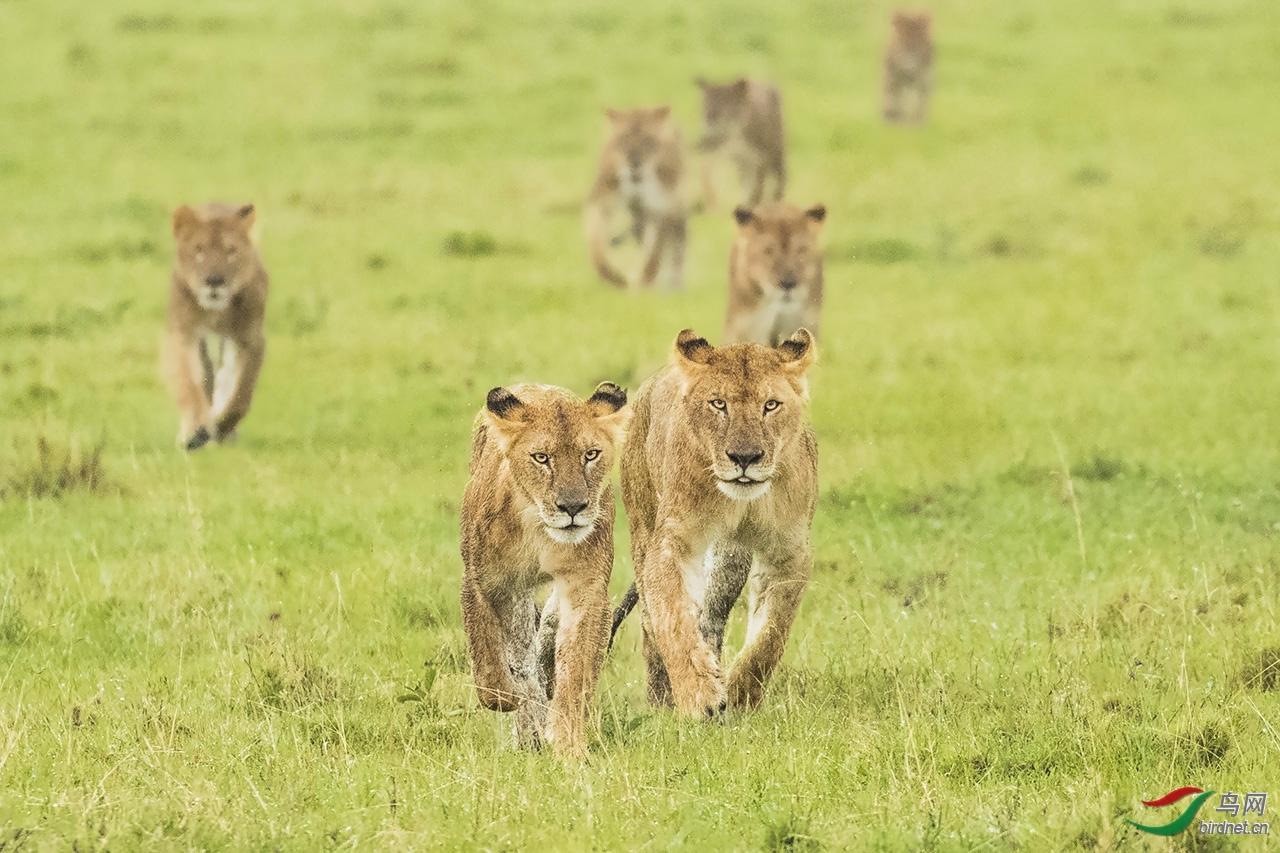 30雨后,威武而来的狮群.jpg
