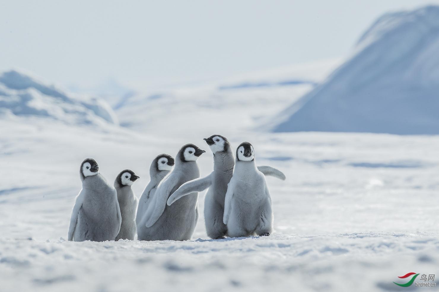 40难忘的帝企鹅宝宝们.jpg